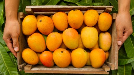 Técnico em Fruticultura colhendo frutas em propriedade rural
